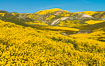 Wildflowers bloom across Carrizo Plains National Monument, during the 2017 Superbloom. Carrizo Plain National Monument, California, USA. Image #33243
