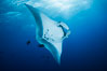 Giant Manta Ray at Socorro Island, Revillagigedos, Mexico. Socorro Island (Islas Revillagigedos), Baja California. Image #33285