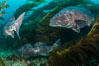 Giant black sea bass, gathering in a mating - courtship aggregation amid kelp forest, Catalina Island. California, USA. Image #33355