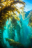 Sunlight streams through giant kelp forest. Giant kelp, the fastest growing plant on Earth, reaches from the rocky reef to the ocean's surface like a submarine forest. Catalina Island, California, USA. Image #33434