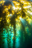 Sunlight streams through giant kelp forest. Giant kelp, the fastest growing plant on Earth, reaches from the rocky reef to the ocean's surface like a submarine forest. Catalina Island, California, USA. Image #33436
