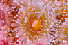 Corynactis anemone polyp, a corallimorph,  extends its arms into passing ocean currents to catch food. San Diego, California, USA. Image #33476