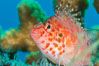 Coral Hawkfish, Sea of Cortez, Baja California. Mexico. Image #33610