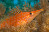 Longnose hawkfish on black coral, underwater, Sea of Cortez, Baja California. Mexico. Image #33616