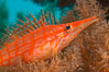 Longnose hawkfish on black coral, underwater, Sea of Cortez, Baja California. Mexico. Image #33617
