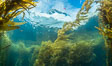 Dive boat and kelp forest. Giant kelp, the fastest growing plant on Earth, reaches from the rocky bottom to the ocean's surface like a submarine forest. Catalina Island, California, USA. Image #34165
