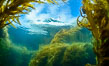 Dive boat and kelp forest. Giant kelp, the fastest growing plant on Earth, reaches from the rocky bottom to the ocean's surface like a submarine forest. Catalina Island, California, USA. Image #34195