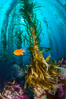 Kelp holdfast attaches the plant to the rocky reef on the oceans bottom. Kelp blades are visible above the holdfast, swaying in the current. Catalina Island, California, USA. Image #34212
