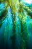 Sunlight streams through giant kelp forest. Giant kelp, the fastest growing plant on Earth, reaches from the rocky reef to the ocean's surface like a submarine forest. Catalina Island, California, USA. Image #34215