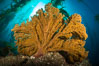 Golden gorgonian on underwater rocky reef, amid kelp forest, Catalina Island. The golden gorgonian is a filter-feeding temperate colonial species that lives on the rocky bottom at depths between 50 to 200 feet deep. Each individual polyp is a distinct animal, together they secrete calcium that forms the structure of the colony. Gorgonians are oriented at right angles to prevailing water currents to capture plankton drifting by. California, USA. Image #34219