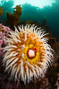 The Fish Eating Anemone Urticina piscivora, a large colorful anemone found on the rocky underwater reefs of Vancouver Island, British Columbia. Canada. Image #34327
