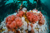 Pink Soft Coral (Gersemia Rubiformis), and Plumose Anemones (Metridium senile) cover the ocean reef, Browning Pass, Vancouver Island. British Columbia, Canada. Image #34330