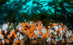 Plumose anemones and Bull Kelp on British Columbia marine reef, Browning Pass, Vancouver Island, Canada. Image #34352