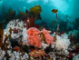 Colorful anemones and soft corals, bryozoans and kelp cover the rocky reef in a kelp forest near Vancouver Island and the Queen Charlotte Strait.  Strong currents bring nutrients to the invertebrate life clinging to the rocks. British Columbia, Canada. Image #34378