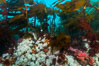 Plumose anemones and Bull Kelp on British Columbia marine reef, Browning Pass, Vancouver Island, Canada. Image #34384