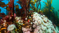 Plumose anemones and Bull Kelp on British Columbia marine reef, Browning Pass, Vancouver Island, Canada. Image #34385