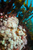 Plumose anemones and Bull Kelp on British Columbia marine reef, Browning Pass, Vancouver Island, Canada. Image #34386