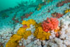 Rich invertebrate life on British Columbia marine reef. Plumose anemones, yellow sulphur sponges and pink soft corals,  Browning Pass, Vancouver Island, Canada. Image #34451