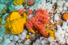 Rich invertebrate life on British Columbia marine reef. Plumose anemones, yellow sulphur sponges and pink soft corals,  Browning Pass, Vancouver Island, Canada. Image #34452