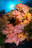 Colorful and exotic coral reef in Fiji, with soft corals, hard corals, anthias fishes, anemones, and sea fan gorgonians. Image #34739