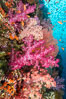 Brilliantlly colorful coral reef, with swarms of anthias fishes and soft corals, Fiji. Image #34743