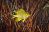 Golden Damselfish, Fiji. Fiji. Image #34770