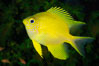 Golden Damselfish, Fiji. Fiji. Image #34809