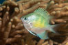 Golden Damselfish, Fiji. Fiji. Image #34866