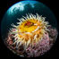 The Fish Eating Anemone Urticina piscivora, a large colorful anemone found on the rocky underwater reefs of Vancouver Island, British Columbia. Canada. Image #35255