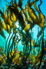 Bull kelp forest near Vancouver Island and Queen Charlotte Strait, Browning Pass, Canada. British Columbia. Image #35279