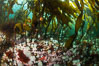 Metridium senile anemones cover the reef below a forest of bull kelp, Browning Pass, Vancouver Island. British Columbia, Canada. Image #35289