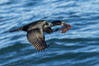 Brandt's Cormorant Flying with Nesting Material, a clump of seaweed (marine algae), La Jolla. California, USA. Image #36837