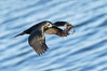 Brandt's Cormorant carrying nesting material, in flight as it returns to its cliffside nest. La Jolla, California, USA. Image #36874