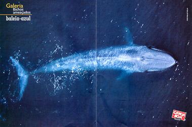 Blue Whale Aerial Spread