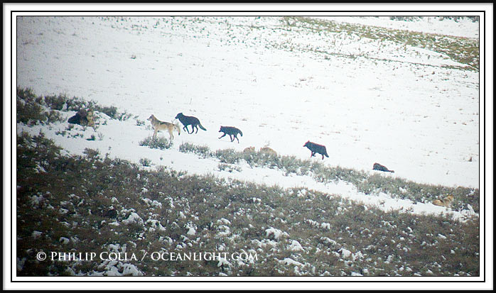 Ten members of the Druid Peak wolf pack cross the Lamar Valley in snow.