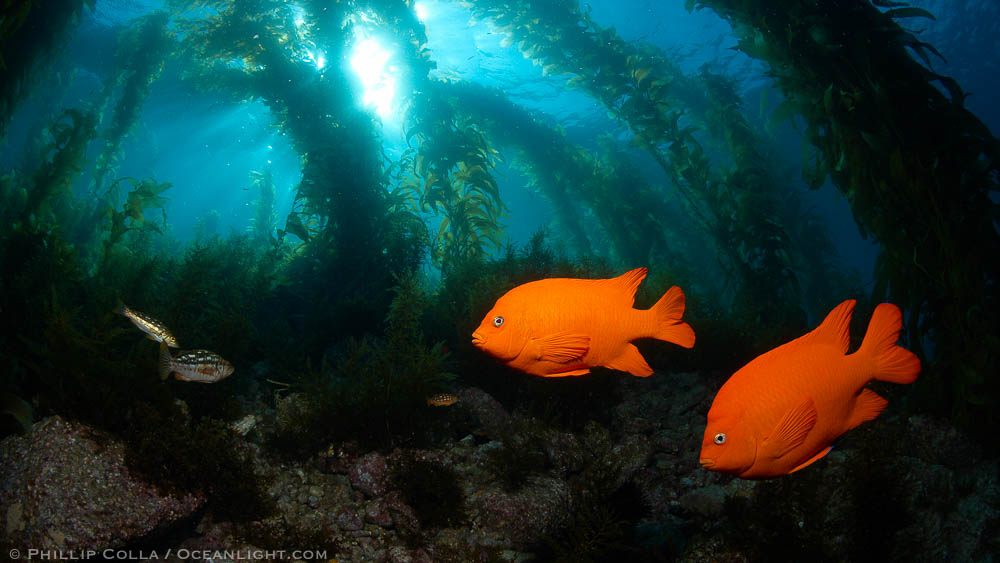 Garibaldi and kelp forest natural history photography blog for California fish planting