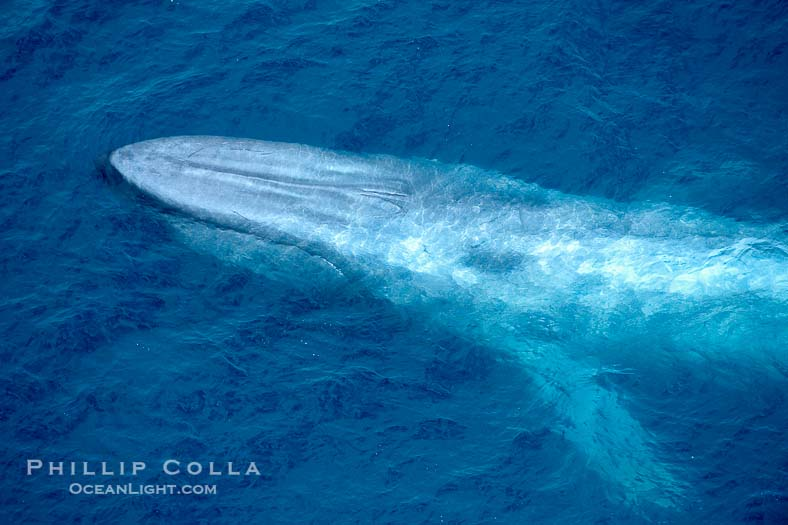 Aerial Photo of a Blue Whale