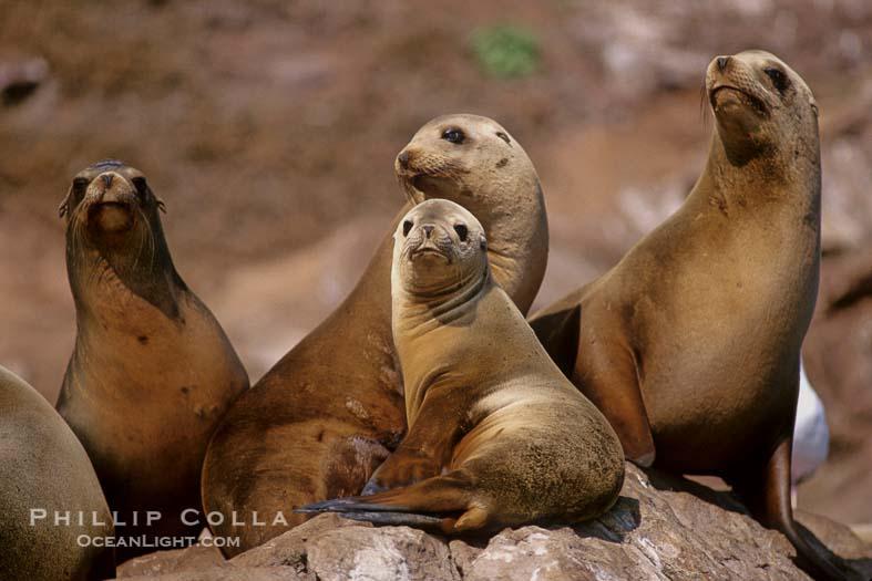 California Sea Lions, Coronado Islands, Mexico
