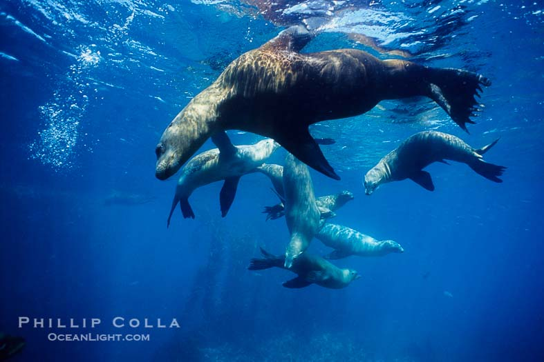 Sea Lions of Santa Barbara Island