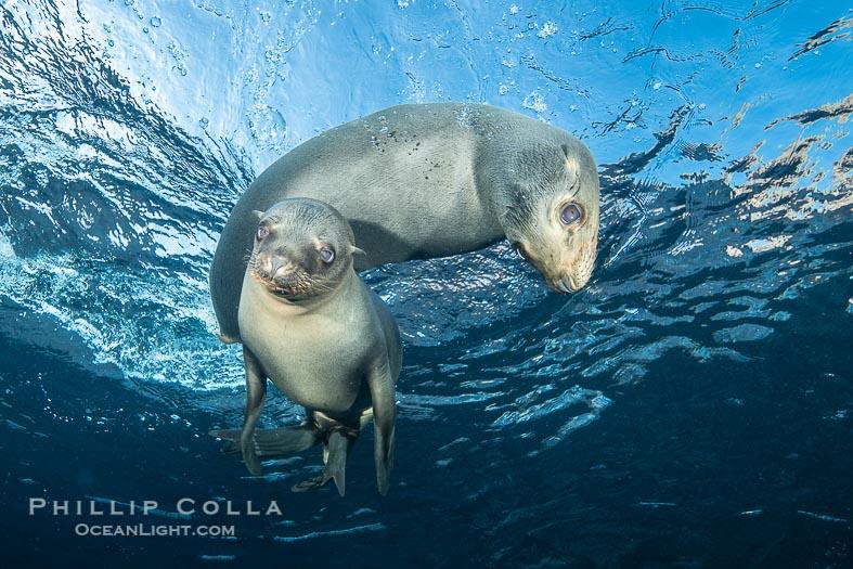 California Sea Lion Pups in the Coronado Islands