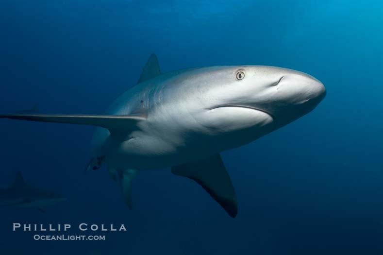 Caribbean Reef Shark Pictures (Carcharhinus perezi)