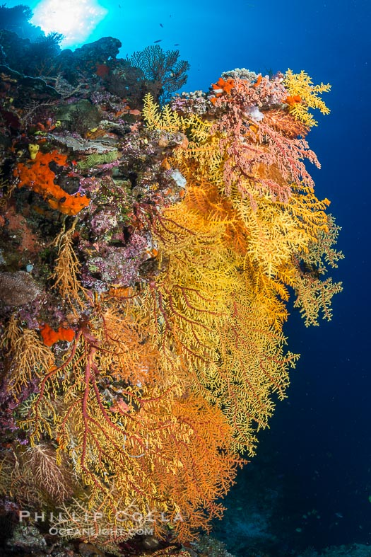 Colorful Chironephthya soft coral coloniea in Fiji, hanging off wall, resembling sea fans or gorgonians.
