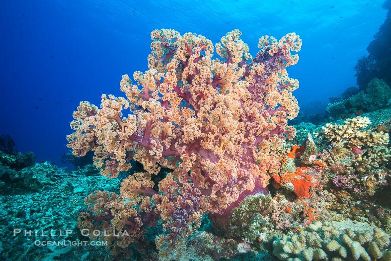 Dendronephthya Soft Corals
