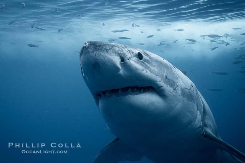 Great White Shark Portrait