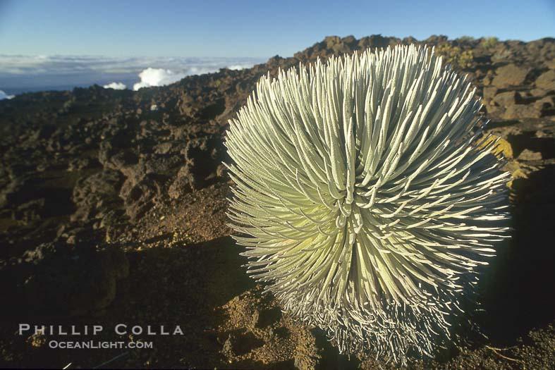 Photo of Haleakala Silversword