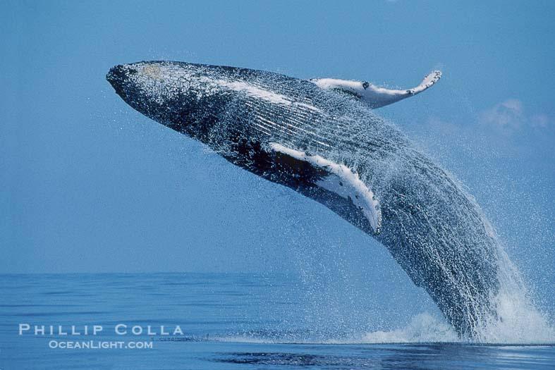 Humpback Whale Pictures (Megaptera novaeangliae)