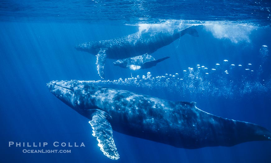 Humpback Whale Underwater Bubble Streaming Among Rowdy Groups in Hawaii