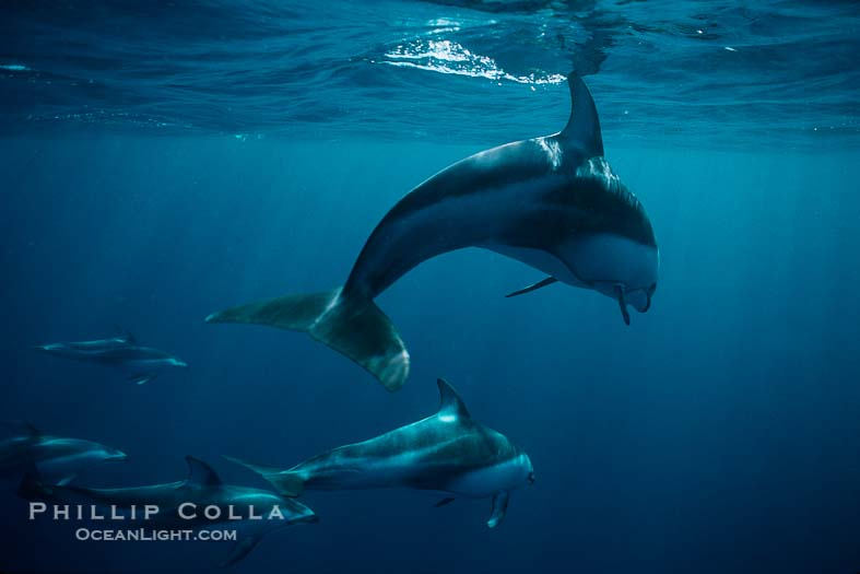 Pacific White-Sided Dolphin Photos