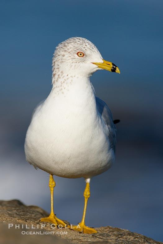 Ring-Billed Gull, Larus Delawarensis, La Jolla