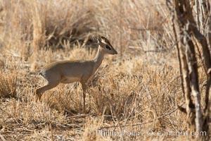 Gunther's dik dik, Meru National Park, Kenya, Madoqua guentheri